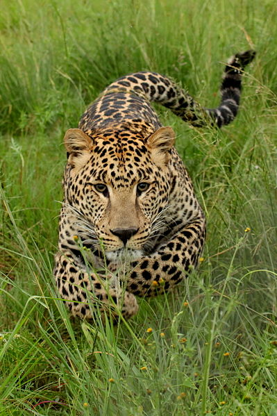 Young leopard charging. Photo taken at Rhino and Lion Park, Gauteng, South Africa by Leo za1