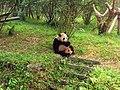 Chengdu-pandas-d06.jpg