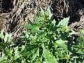 Chenopodium rubrum (s. str.) sl10.jpg