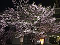 "Cherry-Blossom-Viewing through the ""Tunnel"" at Japan Mint in 201504 042.JPG"
