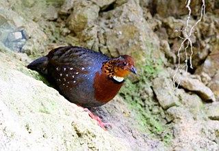 Chestnut-breasted partridge Species of bird