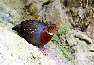 Chestnut-breasted partridge - In Darjeeling district of West Bengal, India