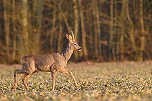 Young deer with short antlers, trotting across a field with trees in background