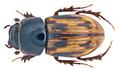 Chilothorax distinctus (Mueller, 1776) Syn.- Aphodius (Chilothorax) distinctus (Mueller, 1776) (14707882249).png