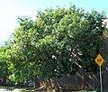 Chinese Pistachio (Pistacia chinensis) - panoramio.jpg