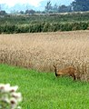 Chinese water deer (Hydropotes inermis) emerging from wheat field - geograph.org.uk - 1442672.jpg