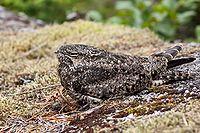 Chordeiles minor -British Columbia -Canada-8c