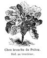 Chou branchu du Poitou Vilmorin-Andrieux 1904.png