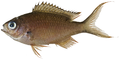 Chromis multilineata - pone.0010676.g107.png