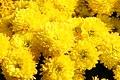 Chrysanthemum Janice 0zz.jpg