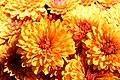 Chrysanthemum Miranda 0zz.jpg