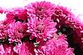 Chrysanthemum Rhapsody 0zz.jpg