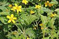 Chrysogonum virginianum pm.JPG