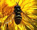 Chrysotoxum arcuatum (male) - Flickr - S. Rae.jpg
