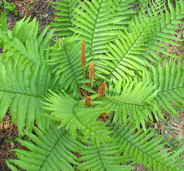 File:Cinnamon Fern Long Valley Farm Carver Creek NC SP 2990 (5682726585) (2).jpg