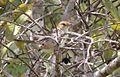 Cisticola marginatus amphilectus, Munhango, Birding Weto, a.jpg