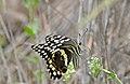 Citrus Swallowtail (Papilio demodocus) (17420959901).jpg