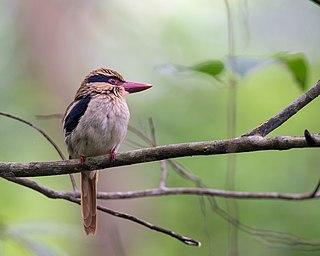 Lilac kingfisher species of bird