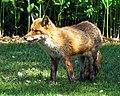 City of London Cemetery, Newham, London England - fox 14.jpg
