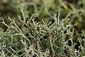 Cladonia sp. (38531580162).jpg