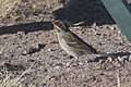Clay-colored Sparrow Rusty's Rodeo NM 2017-10-05 09-07-10 (38657011562).jpg