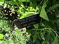 Clethra alnifolia (28517402290).jpg