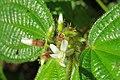 Clidemia hirta - Koster's Curse during Periyar butterfly survey at Sabarimala, 2014 (4).jpg