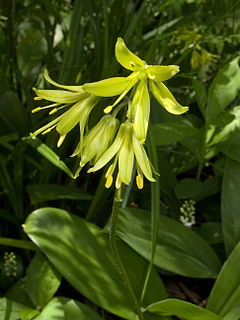 <i>Clintonia borealis</i> species of plant