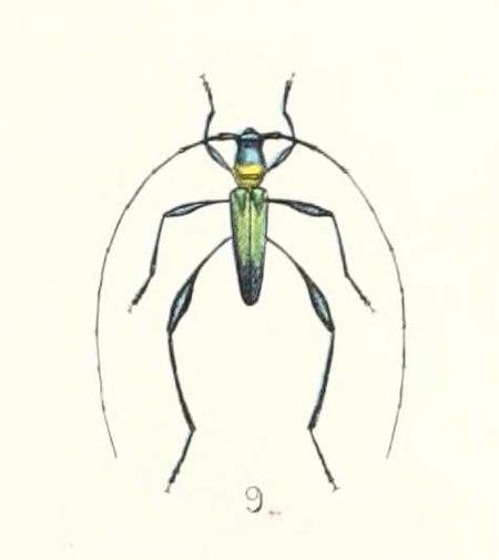 Cloniophorus tricolor