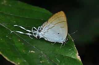 <i>Zeltus</i> Monotypic butterfly genus in family Lycaenidae