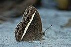 Close wing posture busking of Telinga malsara Moore, 1857 – White-line Bushbrown WLB DSC 0227.jpg