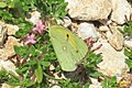 Clouded yellow (Vol) (35872549736).jpg
