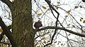 Cmentarz Centralny,Aleja Leszczynowa-wiewiórka robi zapasy orzechów na zimę. - panoramio.jpg