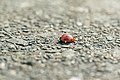 Coccinella septempunctata Reflexbluten.jpg