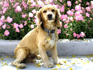 This is a photograph of a Cocker Spaniel, a sh...