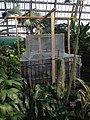 Coco de Mer seed in incubation at Garfield park conservatory 2014.jpg