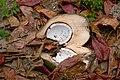 Coconut in Marie-Galante.jpg