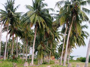 Masjid Tanah - Image: Coconut trees at Pengkalan Balak beach