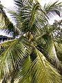Coconut trees of Bangladesh 03.jpg