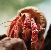 A Strawberry Land Hermit Crab in its shell.