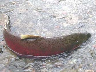 Pescadero Creek - Example of an adult male coho salmon spawning in a shallow stream in Northern California. In spring 2015, three coho were discovered spawning in Pescadero Creek.