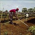 Collectie Nationaal Museum van Wereldculturen TM-20029713 Landarbeider wiedt onkruid op Plantage Aruba Bonaire Boy Lawson (Fotograaf).jpg