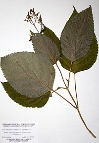 Collinsonia canadensis BW-1979-0723-0350.jpg