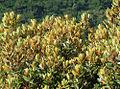 Comarostaphylis arbutoides, subspecies arbutoides. (9679359931).jpg