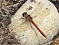 Common Darter- male Sympetrum striolatum - Flickr - gailhampshire.jpg