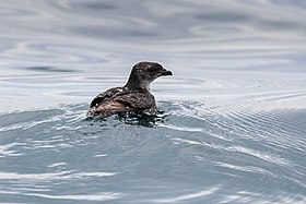 Common Diving-Petrel - Stewart Island - New Zealand (38272636865).jpg