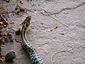 Common Eastern Garter Snake (7405011100).jpg