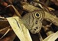 Common Fivering Ypthima baldus upperside by Dr. Raju Kasambe DSCN1100 (3).jpg