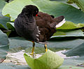 Common Moorhen (Gallinula chloropus) preening in a Nelumbo nucifera (Indian Lotus) pond W IMG 8748.jpg