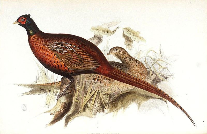 File:Common Pheasant.jpg
